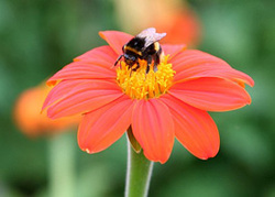 Honey_bee_275