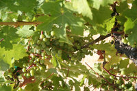 Ridge_grapes
