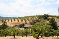 Ridge_vineyard